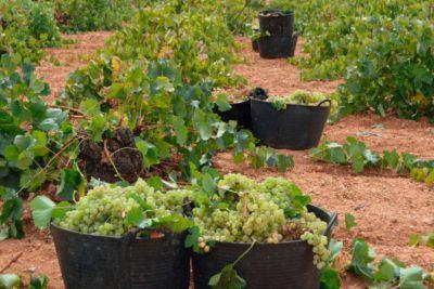 ASAJA C-LM advierte del hundimiento del sector vitivinícola si no se actúa con urgencia