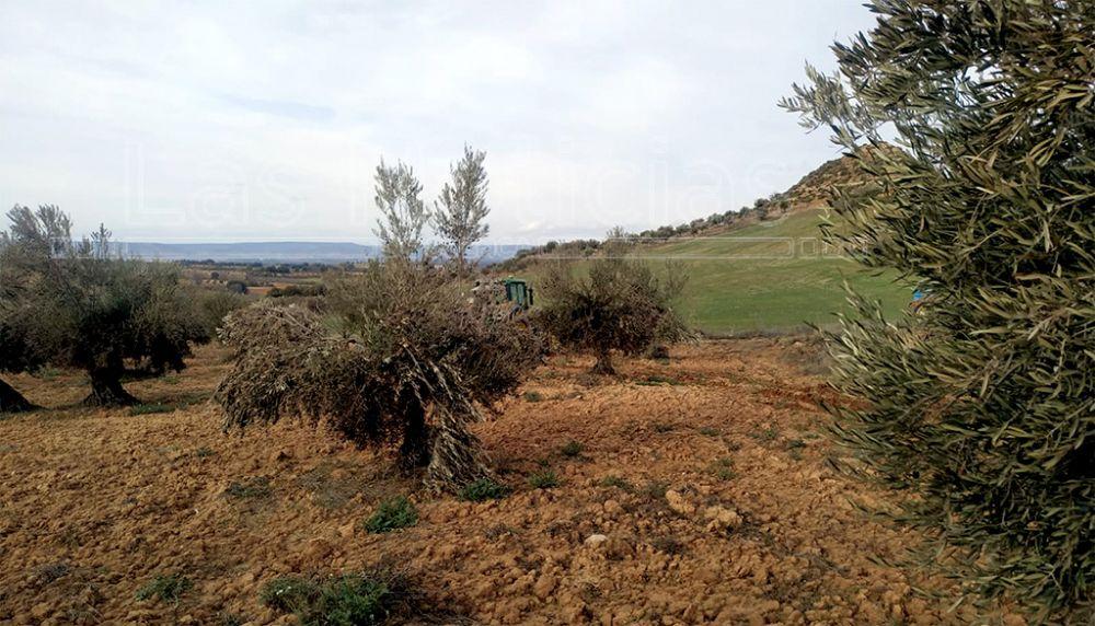 Filomena dañó el 40% de la producción del olivar de la provincia