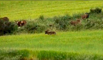 Los agricultores urgen a autorizar la caza para evitar los daños en cultivos