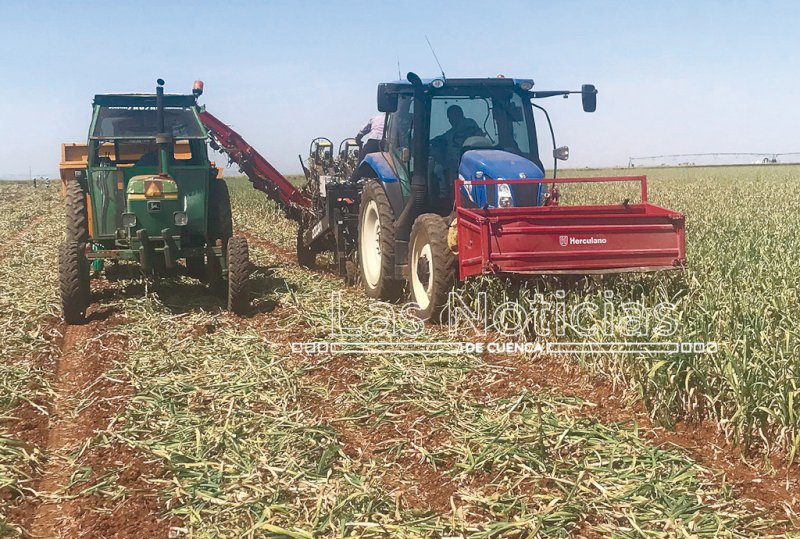 La campaña del ajo arranca con buenas perspectivas de cosecha
