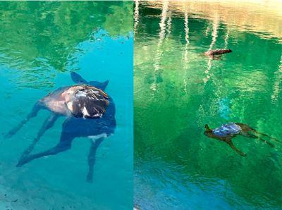 La Federación de Caza alerta de la muerte de corzos en el canal del Tajo-Segura