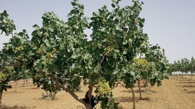 La primera planta de procesado de pistacho de Cuenca, en 2022