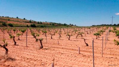La marchitez fisiológica ataca a miles de hectáreas de viñedo bobal en La Manchuela