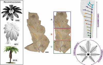 Reconstruyen un helecho que vivió en Las Hoyas hace 129 millones de años