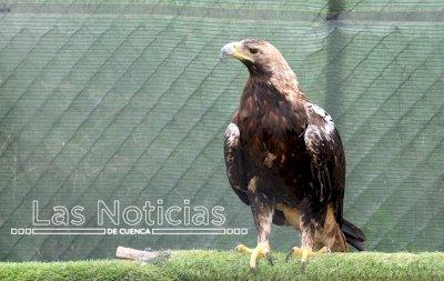 La población de águila imperial recobra el pulso en la provincia