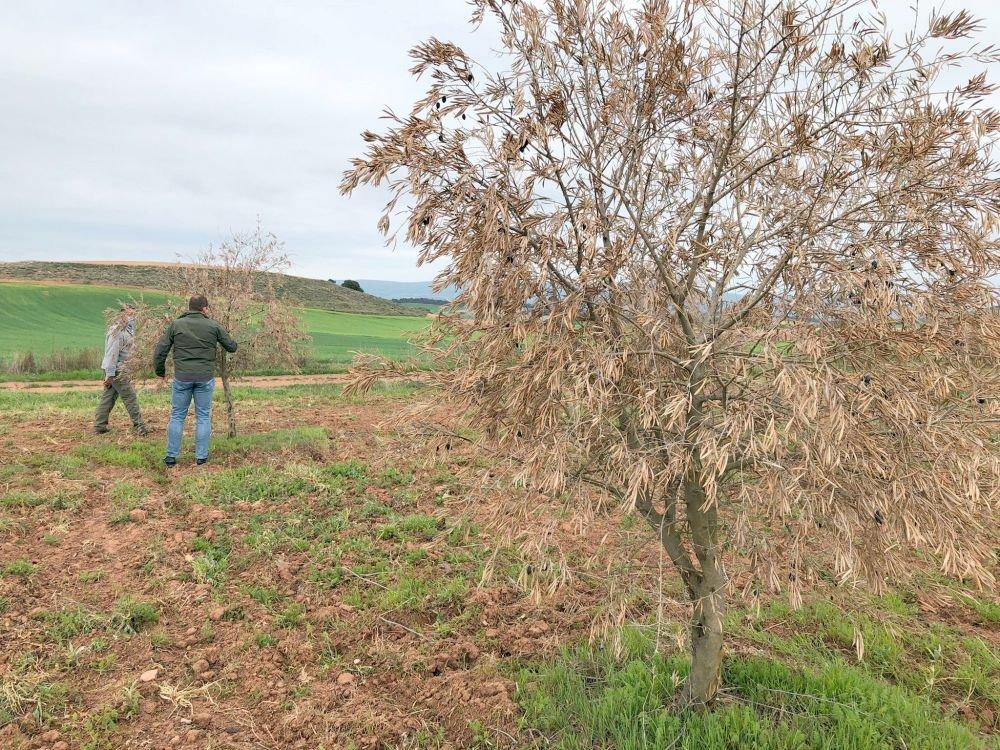 La Junta convoca ayudas para recuperar el olivar afectado por Filomena