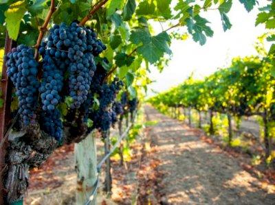 31 millones de euros para ayudas a restructuración del viñedo en la región