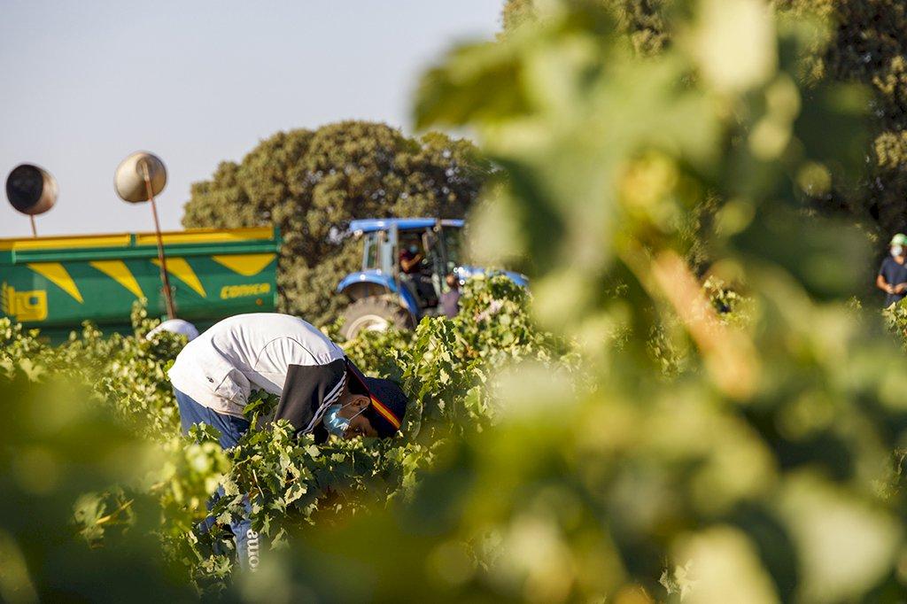 La vendimia llega a su recta final en la provincia con un 25% menos de producción