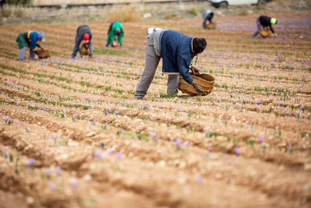 La DOP Azafrán de La Mancha estima una cosecha de unos 600 kilogramos